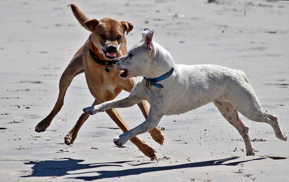 Pitbull aggression study